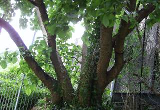 Mulberry Trees - Vegetative propagation People Falling Over